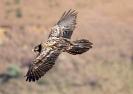 Bearded Vulture 01