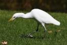Cattle Egret 01